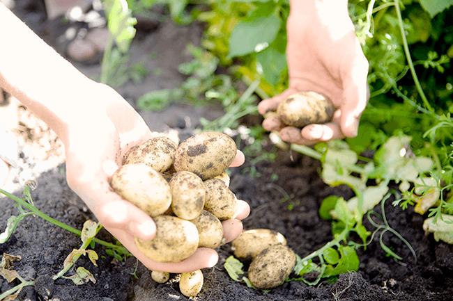 Dame plukker poteter. Foto.