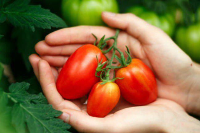 tomater som holdes av to hender.